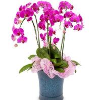 호접란 광기정화식물 1호